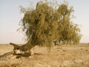 Tree in the Thar